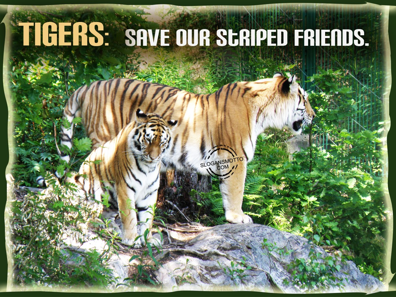save tigers The bengal tiger is an exception to the general rule that cats hate water  including the world wildlife fund and save the tigers, among others.